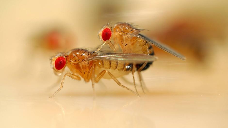 Fruchtfliegen paaren sich:  Lohnt sich Sex mit vielen Partnern nur für Männchen? Und wenn ja: Gilt das auch für Menschen?