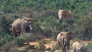 Im südlichen Afrika gibt es zu viele Elefanten