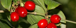 Verspricht herben Genuss: Kornelkirsche (Cornus mas)