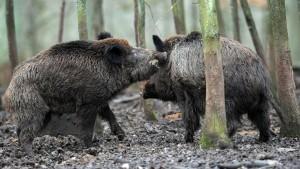 Wildschwein satt für bedürftige Texaner