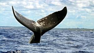 Kein Walschutzgebiet im Südatlantik