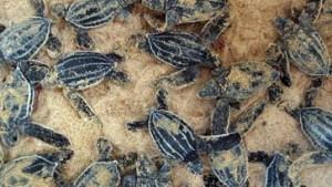Reise von Schildkröten im Internet zu beobachten