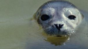 Sorge um Seehunde: Tödliche Staupe-Epidemie rückt näher
