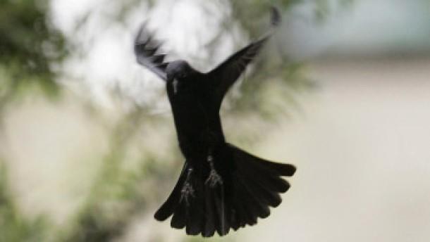 Vogelterror wie bei Hitchcock