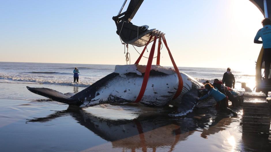 Argentinien, Lucila del Mar: Auf diesem von der NGO Mundo Marino zur Verfügung gestellten Bild wird ein Buckelwal mit Hilfe eines Baggers wieder ins Meer befördert.
