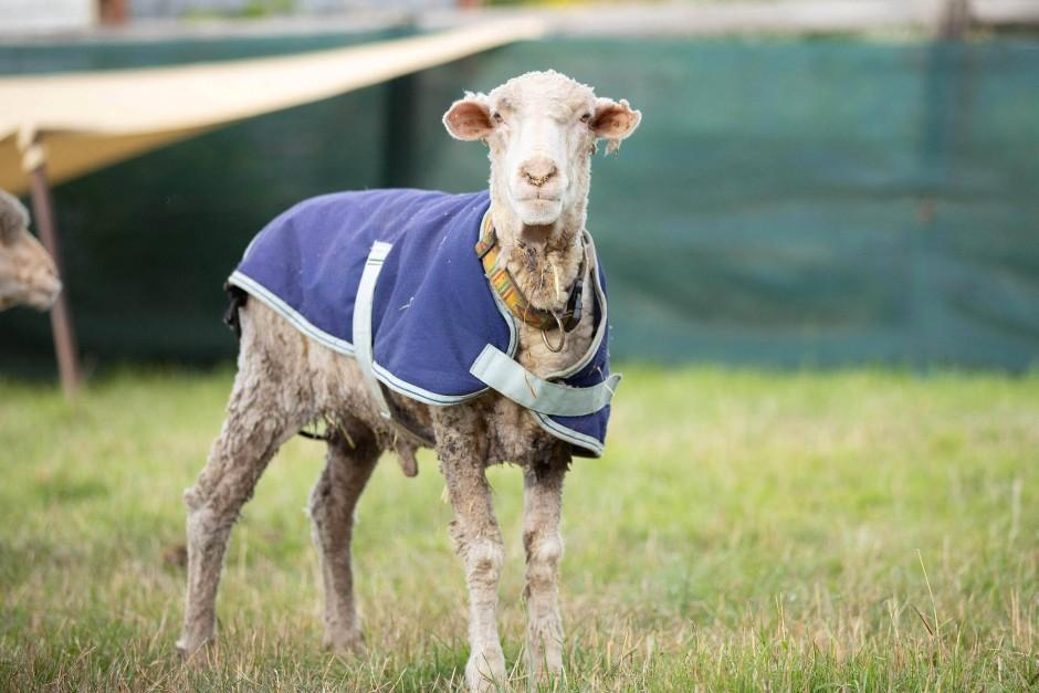 Kein Wollknäuel mehr: Schaf Baarack erholt sich auf einer Aufnahmestation für Tiere in Australien.