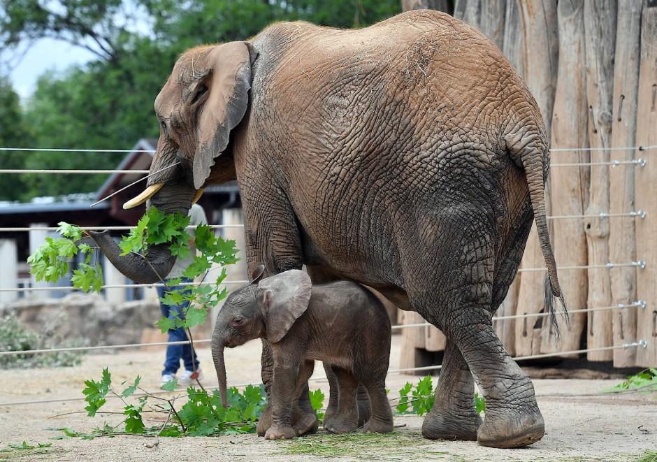 bilderstrecke zu elefantenbaby im zoo halle lernt laufen vor publikum bild 3 von 5 faz. Black Bedroom Furniture Sets. Home Design Ideas