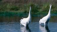 Seltene Nationalvögel: Zwei Schreikraniche stehen im Wasser und machen ihrem Namen alle Ehre.