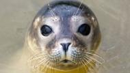 Seehunde sterben an Grippe