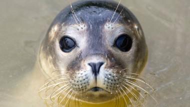 Die Grippe streckt sie darnieder: Kein gutes Jahr für die Seehunde im Wattenmeer.