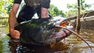 So groß können Welse werden: Ein Fischer zeigt einen 1,80 Meter langen Wels (Archivbild). Im Bauch eines solchen Fisches haben Angler eine Hand gefunden.