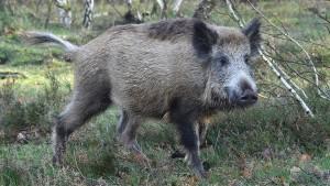 Berliner tötet Wildschwein auf Parkplatz