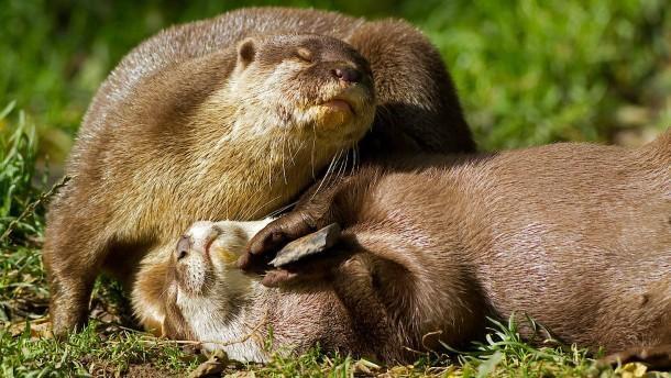 Warum spielen Otter mit Steinen?