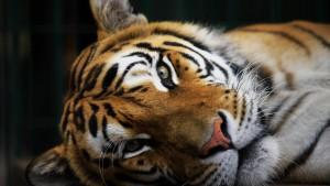 Tigerpopulation wächst erheblich