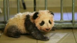 Ein Name für das Panda-Baby