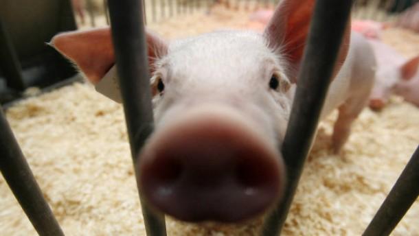 Schweine werden nicht lebend im Schnee begraben