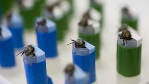 Bombenschnüffelnde Bienen