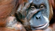 Einprägsam zum Lernen der deutschen Sprache: ein Affengesicht