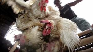 Vogelgrippe erstmals von Mensch zu Mensch übertragen?