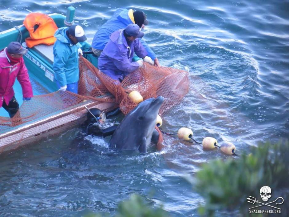 Auswahl der Delfine vor dem Fang (Bild veröffentlicht durch die Umweltschutzorganisation Sea Shepherd)
