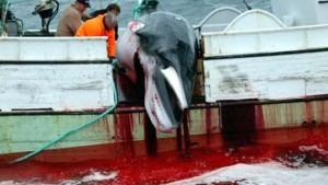 Island führt kommerziellen Walfang wieder ein