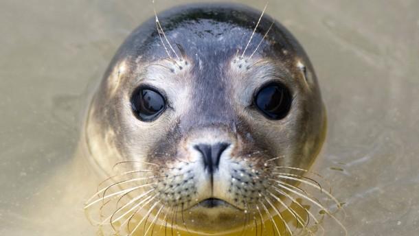 Rätsel um tote Robben an der Nordseeküste