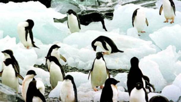 Tausende Jungpinguine im ewigen Eis verloren
