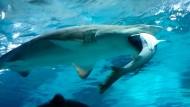 Hai frisst anderen Hai