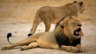 Zahnarzt erschießt weltberühmten Löwen