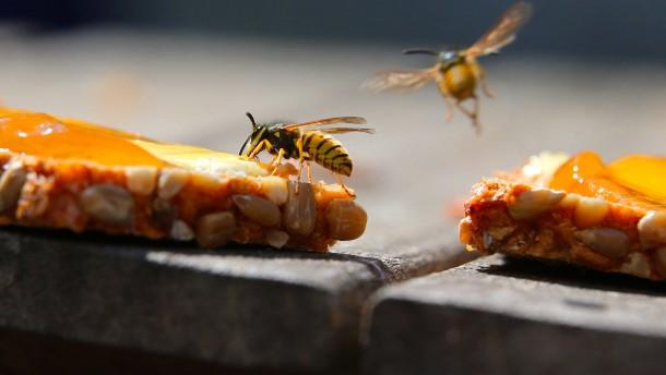 Warum gibt es so viele Wespen?