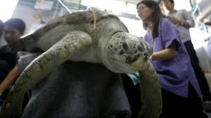 Schildkröte mit Münzen im Magen stirbt nach Not-OP