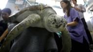 Die Schildkröte wird am 10. März in der Chulalongkorn-Universität in Bangkok nach ihrer Operation behandelt. Zwei Wochen später ist sie jetzt an einer Blutvergiftung gestorben.