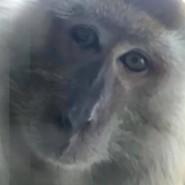 Handyräuber: Ein Affe in Malaysia schoss Fotos, nachdem er ein Handy geklaut hatte.