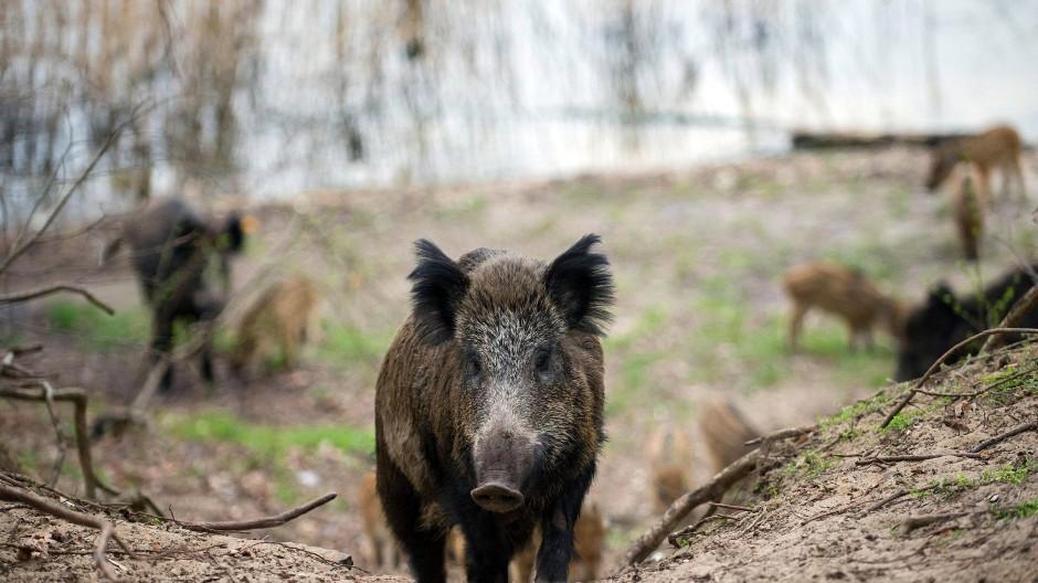 Wildschweine in einem Waldgebiet im Stadtbezirk Tegel in Berlin: Zu Hunderttausenden kaufen die Deutschen dem Baum-Romantiker Peter Wohlleben sein Wald-Erklärbuch ab, fürchten sich aber noch als Erwachsene, wenn es im Dunkel des Nadelgehölzes verdächtig knackt.