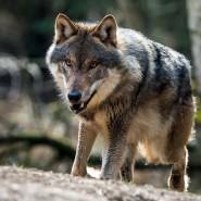 Ein Wolf ist in seinem Gehege im Wildpark Schorfheide in Brandenburg zu sehen (Archivbild). In Sachsen ist jetzt ein Wolf zum Abschuss freigegeben worden.