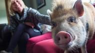 Gassi gehen mit dem Minischwein