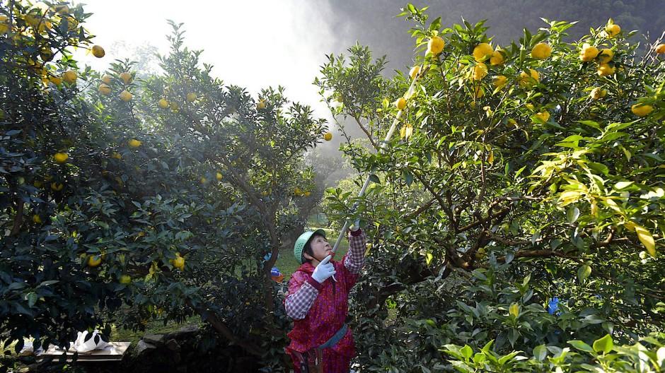 Im November findet die Yuzu-Ernte in Japan (wie hier im Dorf Umaji) statt.