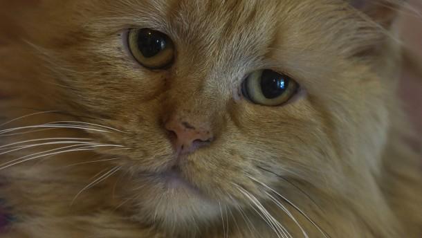 Katze mit Schmuggel-Handys in Gefängnis in Costa Rica geschnappt