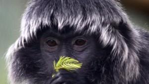 Monogamie bei Primaten soll Kindstötungen verhindern