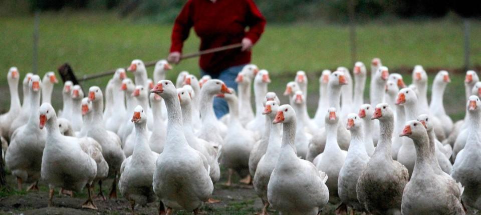 online retailer 62ecb d632f H5N8-Virus: Untersuchung von Enten und Gänse auf Vogelgrippe