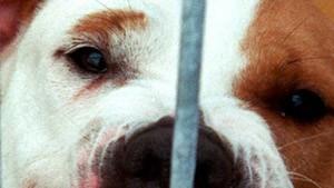 Karlsruhe kippt teilweise Zuchtverbot für Kampfhunde