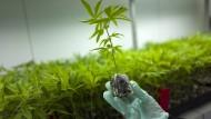 Ein Mann hält in einem Gewächshaus in Birya im Norden von Israel eine Hanfpflanze (Archivaufnahme von Februar 2016). Hier wird Cannabis für medizinische Zwecke produziert. Das israelische Parlament hat Marihuanakonsum jetzt etwas entkriminalisiert.