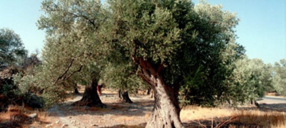 Trends: Uralte Olivenbäume begehrt wie Diamanten