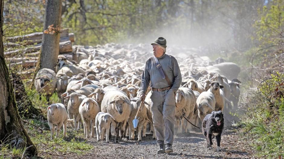 Fast immer unter freiem Himmel: Schäfer Volker Schuhmacher und seine Herde auf einer Weide bei Eschbach im Taunus