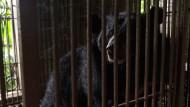 Ein Schwarzbär in einem Käfig in Nordvietnam (Aufnahme von April 2017). In Alaska sind zwei Männer durch Angriffe von Schwarzbären umgekommen.