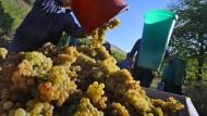 Ausnahmejahrgang: Traubenernte in Thüngersheim in Bayern