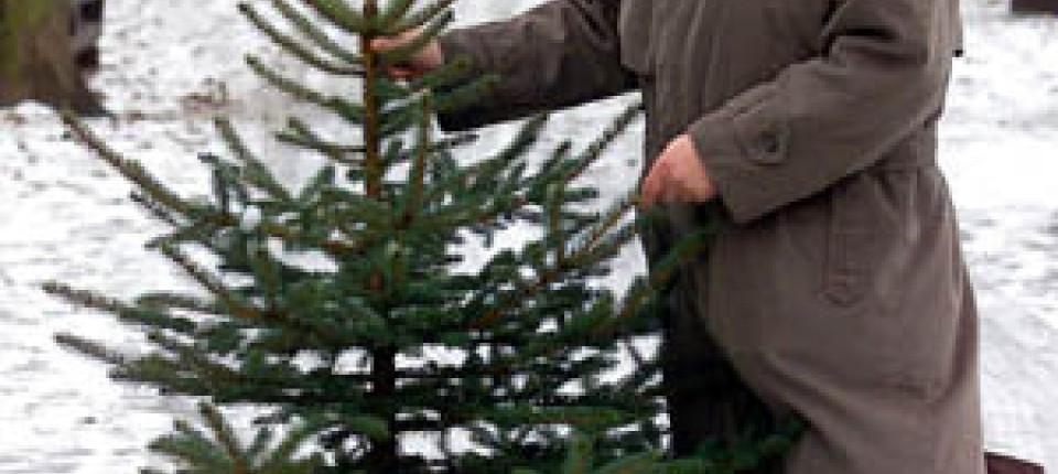 Tannenarten Weihnachtsbaum.Weihnachten Forschen Für Den Ideal Weihnachtsbaum Gesellschaft Faz