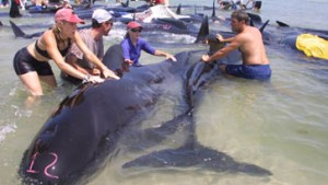 Tierschützer retten 46 gestrandete Wale