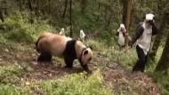 So wollen sie die Bären an ein Leben in freier Wildbahn gewöhnen.