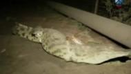 In Südafrika sind Tausende Krokodile wegen Hochwassers aus einer Farm entkommen. Auch nach Tagen sind immer noch viele der Tiere in Freiheit und bedrohen nun die Bewohner der Region.
